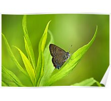 Banded Hairstreak Butterfly Art  Poster