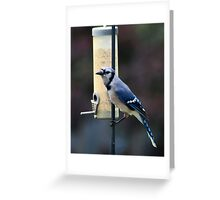 Blue Jay at Feeder Greeting Card