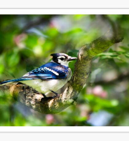 Spring Blue Jay Sticker