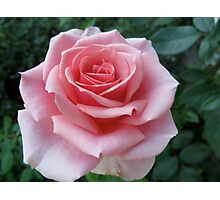 Mozart Rose Photographic Print