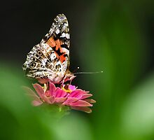 Painted Lady Butterfly Art by Christina Rollo