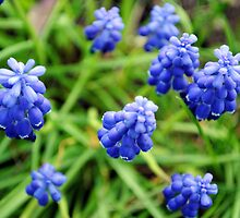 Grape Hyacinths - Space Ships? by goddarb