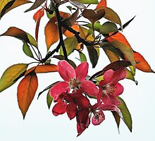 Apple Blossoms and Leaves by T.J. Martin