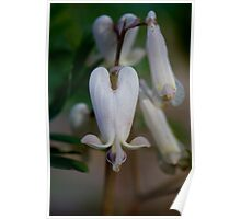 Delicate Dicentra Poster
