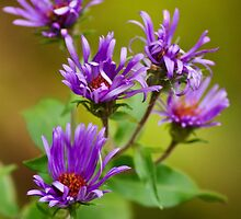 New England Aster Flower Art by Christina Rollo
