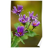 Aster Flowers Poster