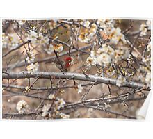 Male House Finch Eating Plum Blossoms Poster