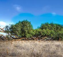 Leaning Tree - River Gum - Greenough - WA  by Frank Moroni