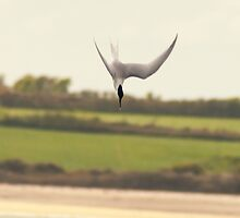 Diving tern, Bannow beach, County Wexford, Ireland by Andrew Jones