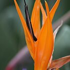 Bird of Paradise by Bryan Kidd