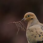 Mourning Dove by Tom Gotzy