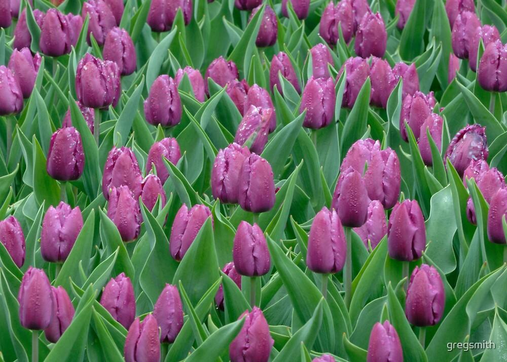 Tulip Festival in Ottawa, Canada by gregsmith