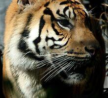 Closeup shot of tiger by rhua5436