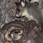 Possum Family by Emma Holmes