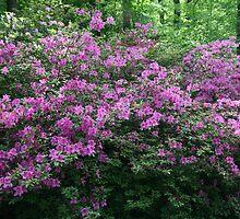 Purple Azaleas by Cora Wandel