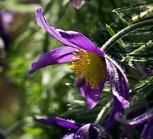 Pasque Flower by RosiePosie