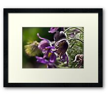 Pasque Flower Framed Print