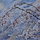 Snow on Himalayan thorn by John Spies