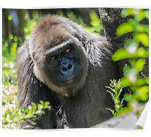 Gorilla 04 Poster