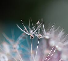 Dandelion droplets by PhotoTamara