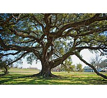 St. Joseph Plantation Oak Photographic Print