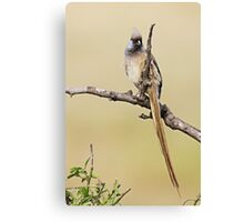 Mousebird Canvas Print