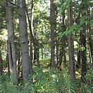 Pine woods by Kenneth Vanover