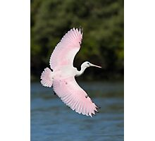 Juvenile Roseate Spoonbill Banking. Photographic Print