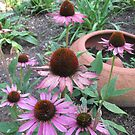 Coneflower and Terra Cotta Pot by kgarrahan