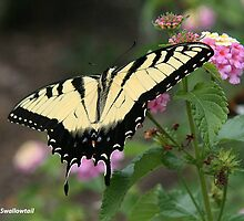 Tiger Swallowtail 2 by Tom Greene