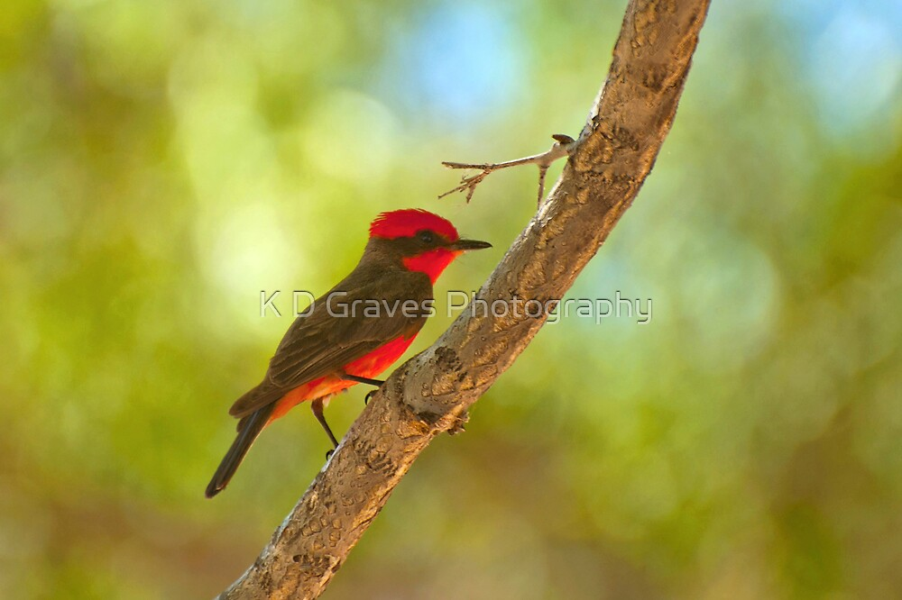Vermilion Flycatcher by Diana Graves Photography