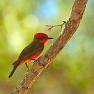 Vermilion Flycatcher by Diana Graves Photography