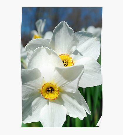 Double Daffodil Fun Poster