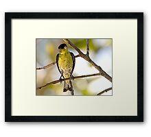Female Lesser Goldfinch Framed Print