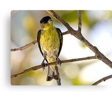 Female Lesser Goldfinch Canvas Print