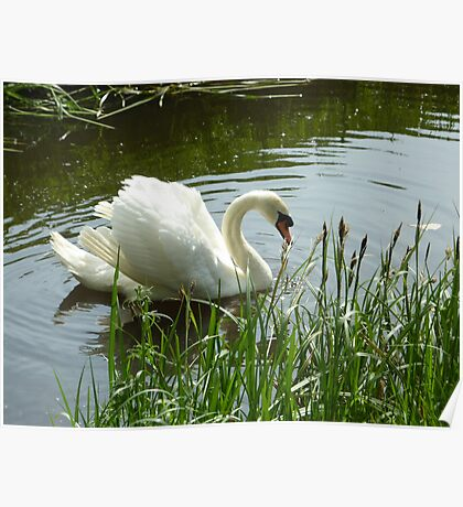 Moorland Swan Poster