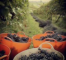 Grape picking at Traralgon Vineyards by Nupur Nag