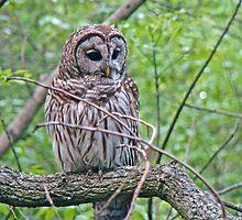 Barred Owl - Strix varia by MotherNature