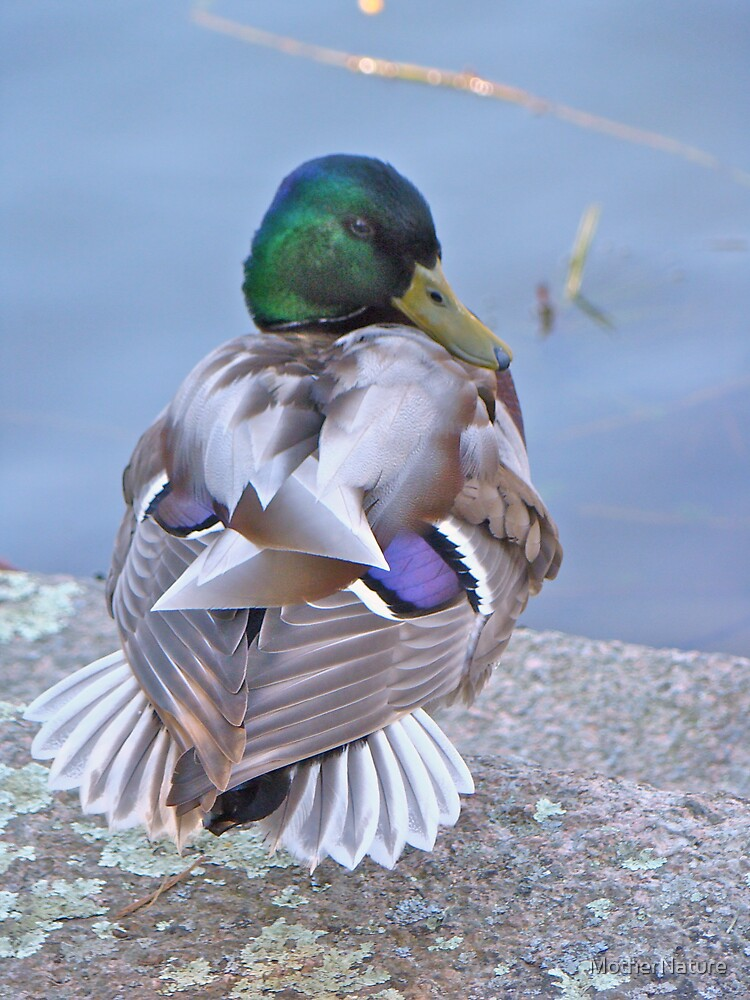 Mallard Drake - I am Too Sexy For My Clothes by MotherNature