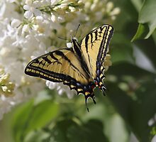 Western Tiger Swallowtail by KansasA