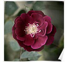Little Rose just bloomed squared color Poster