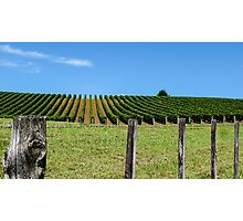 rural grapevines Photographic Print