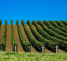 grapevines in rows by Anne Scantlebury