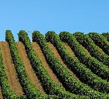 rows of vines by Anne Scantlebury