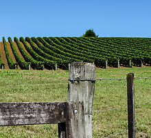 fenced grapevines by Anne Scantlebury
