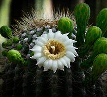Saguaro Cactus Blooms  by Saija  Lehtonen