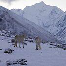 White horses, Nepal by John Spies