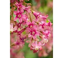 Pink-flowering currant Photographic Print