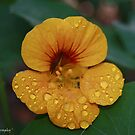 Autumn Nasturtium by Brien Bland
