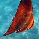 LEAFY BAT FISH by springs